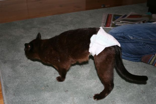 A cat in a nappy (1)