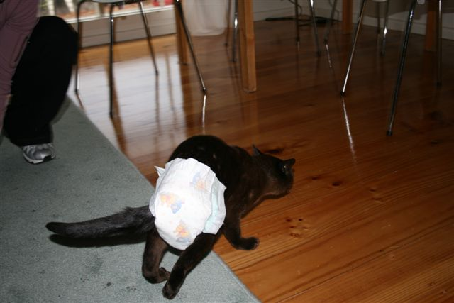 Cat in a nappy (2)