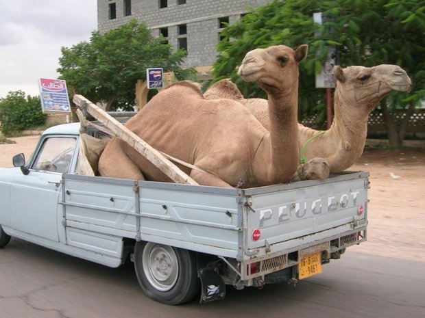 Refugee camels flee the Kevin Rudd-sponsored camel genocide in Central Australia